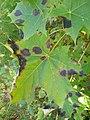 Rhytisma acerinum 155822592.jpg