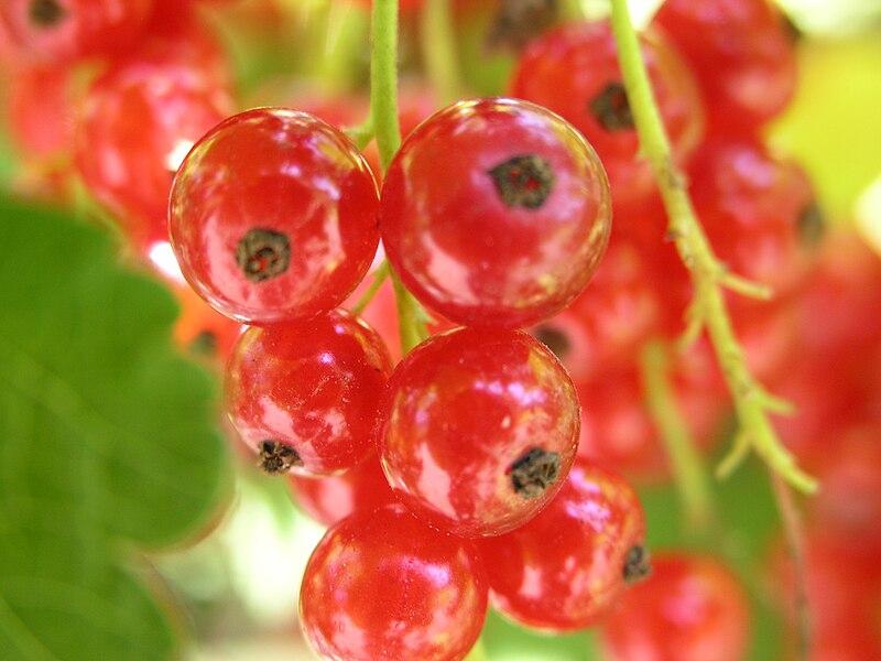 File:Ribes rubrum2005-07-17.JPG