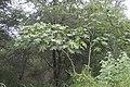 Ricinus communis 02.jpg