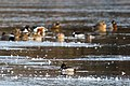 Ring-necked duck (32126494043).jpg
