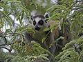 Ring-tailed Lemur (Lemur catta) feeding on tamarind leaves, Tsimanampetsotsa, Madagascar (4309673874).jpg