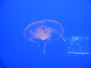 Ripleys jellyfish.jpg