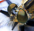 Robber fly head.jpg