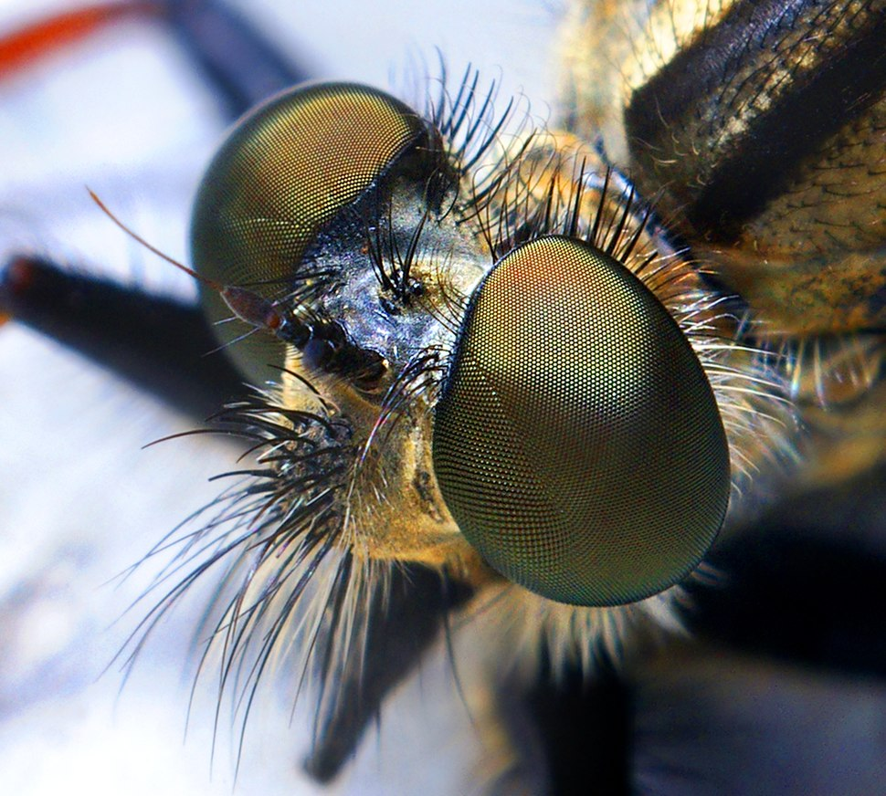 Robber fly head