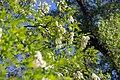 Robinie Robinia pseudoacacia Nationalpark Donau-Auen Lobau Mai 2016 02.jpg