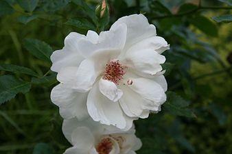 Rosa 'Harwanna' 2013 206.JPG