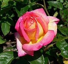 Rosa (botanica)