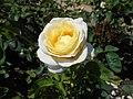 Rosa Chopin 2018-07-16 6263.jpg