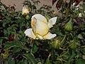 Rosa Chopin 2018-07-16 6271.jpg
