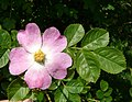 Rosa rubiginosa inflorescence (19).jpg