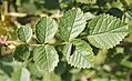 Rosa rubiginosa leaf (05).jpg