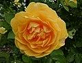 Rosarium Baden Rosa 'Graham Thomas' Austin 1983 02.jpg