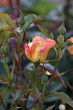 Rose, Spectra - Flickr - nekonomania (1).jpg