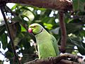 Rose-ringed Parakeet - Sri Lanka - 01.jpg