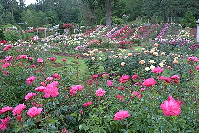 Portland's climate is conducive to the growth of roses. (Pictured: International Rose Test Garden) RoseTestGardenPortland.jpg