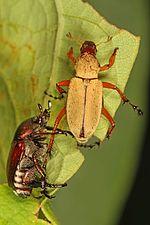 Rose Chafer? and Japanese Beetle - Popillia japonica, Jones Preserve, Washington, Virginia.jpg