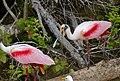 Roseate Spoonbills (Platalea ajaja) adults quarelling ... (28462144394).jpg
