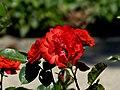 Rosengarten der Stadt Köln Rosa 'Ave Maria'.jpg