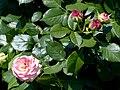 Rosengarten der Stadt Köln Rosa 'Eden 85' 1.jpg