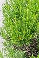 Rosmarinus officinalis in Jardin des 5 sens (2).jpg