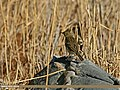 Rosy Pipit (Anthus roseatus) (23145221353).jpg