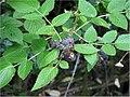 Rubus nivieus 1zz.jpg