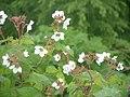 Rubus parviflorus (537906988).jpg