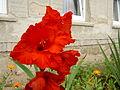 Rudý gladiol.jpg