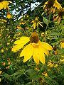 Rudbeckia laciniata InflorescencesFlowers BotGardBln0906b.JPG