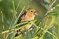 Ruddy-breasted Seedeater - Espiguero Canelillo (Sporophila minuta) (♀) (23249785550).jpg