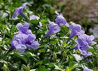 Ruellia tuberosa (Wayside Tuberose) in Hyderabad W IMG 9012.jpg