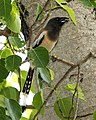 Rufous Treepie (Dendrocitta vagabunda)-8.jpg