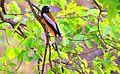 Rufous treepie.jpg