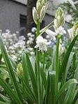 Ruhland, Grenzstr. 3, Spanisches Hasenglöckchen, weiß blühend, Knospen öffnend, Frühling, 01.jpg