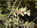 Ruscus aculeatus HRM2.jpg