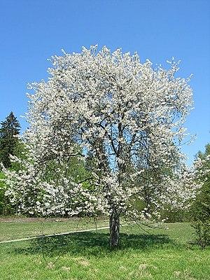 Süßkirsche Prunus avium.jpg
