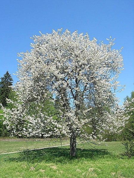File:Süßkirsche Prunus avium.jpg