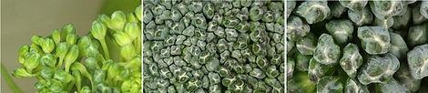 Sa broccoli florets.jpg