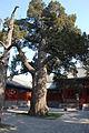 SabinaChinensis in Guozijian.jpg