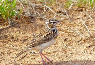 Sabota lark species of bird