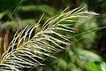 Saccharum spontaneum - Indian Botanic Garden - Howrah 2012-09-20 0135.JPG