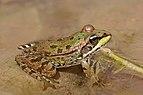 Sahara frog (Pelophylax saharicus).jpg