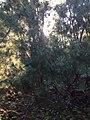 Sakhalinian forest.jpg
