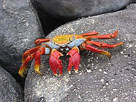 Sally lightfoot crab 2a.jpg