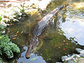 Salt Water Crocodile in TMII Reptile Park.jpg