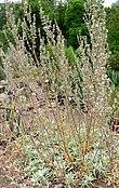 Salvia apiana 1.jpg