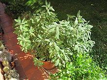Salvia officinalis in vaso.JPG