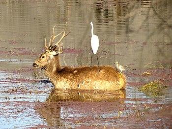 Sambhar eating aquatic vegetation.jpg