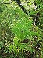 Sambucus ebulus, Adoxaceae 01.jpg