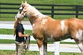 Sato - Palomino, Sabino, THoroughbred Stallion (5970379498).jpg